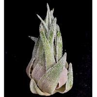 【天下家植物界】Tillandsia sprengeliana(Coastal form,Brazil)/ティランジア スプレンゲリアナ コスタルフォーム