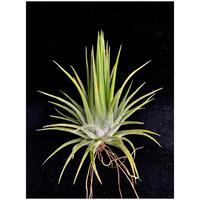 【天下家植物界】Tillandsia ionantha  'Fuego Yellow'003/ティランジア イオナンタ フエゴイエロー