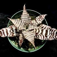 【天下家植物界】Cryptanthus `Ice Age'/クリプタンサス アイスエイジ