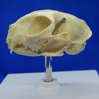 猫の頭蓋骨模型