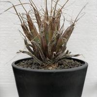 Leuchtenbergia principis 晃山 1