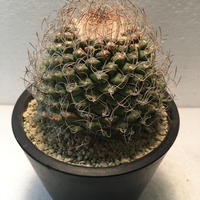 """Strombocactus disciformis """"菊水"""""""