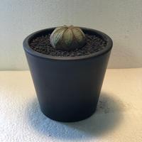 Euphorbia obesa Old 2