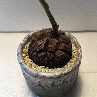 Dioscorea elephantipes 6