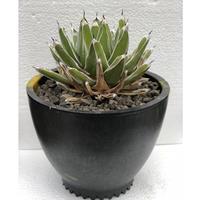Agave victoriae-reginae 笹の雪 1