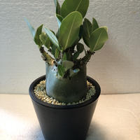 Adenium arabicum モンスト