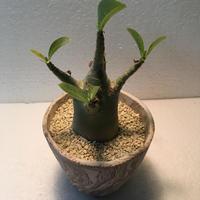 Adenium arabicum 1