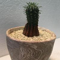 "Euphorbia""stellispina"""