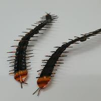 昆虫模型:ムカデ (2匹)
