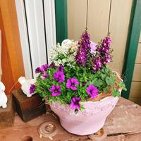 アンゲロニアとカリブラコアの紫寄せ植え