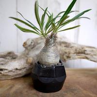 Pachypodium rosulatum var. gracilius パキポディウム・ロスラーツム・グラキリウス(グラキリス)S1