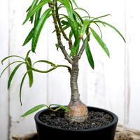 Pachypodium succulentum パキポディウム・サキュレンタム  SUC2