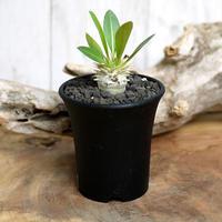 【実生】Pachypodium eburneum パキポディウム・エブレネウム EBR10
