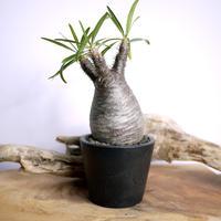 【発根済】Pachypodium rosulatum var. gracilius パキポディウム・ロスラーツム・グラキリウス(グラキリス)D