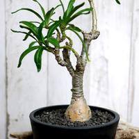 Pachypodium succulentum パキポディウム・サキュレンタム  SUC1