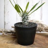 【実生】Pachypodium lamerei var. fiherenense パキポディウム・フィヘレネンセ FIH6