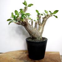 【発根済】Pachypodium makayense パキポディウム・マカイエンセ(魔界玉)