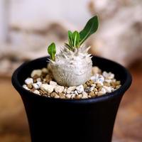 【実生】Pachypodium densicaule 恵比寿大黒 DC2