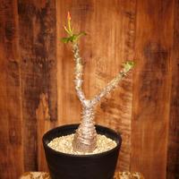 Pachypodium baronii var. windsorii パキポディウム・バロニー・ウィンゾリー