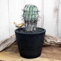 Euphorbia horrida var. zebrina  ユーフォルビア・ゼブラホリダ