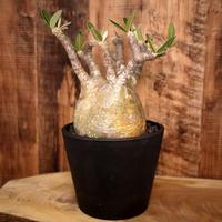 Pachypodium rosulatum var. gracilius パキポディウム・ロスラーツム・グラキリウス(グラキリス)G5