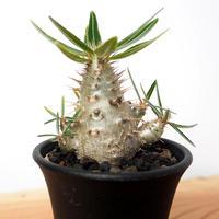 【実生】Pachypodium rosulatum var. gracilius パキポディウム・ロスラーツム・グラキリウス(グラキリス)