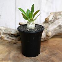 【実生】Pachypodium eburneum パキポディウム・エブレネウム EBR1