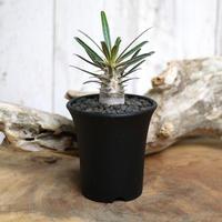 【実生】Pachypodium rosulatum var. cactipes パキポディウム・ロスラーツム・カクチペス CAC2