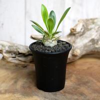 【実生】Pachypodium eburneum パキポディウム・エブレネウム EBR5