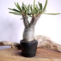 【発根済】Pachypodium rosulatum var. gracilius パキポディウム・ロスラーツム・グラキリウス(グラキリス)G