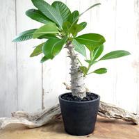 Pachypodium baronii var. windsorii × baronii ウィンゾリー×バロニー