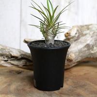 【実生】Pachypodium rosulatum var. gracilius パキポディウム・ロスラーツム・グラキリウス(グラキリス)GR2