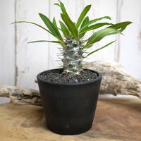 【実生】Pachypodium lamerei var. fiherenense パキポディウム・フィヘレネンセ FIH4