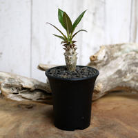 【実生】Pachypodium baronii パキポディウム・バロニー  BAR3