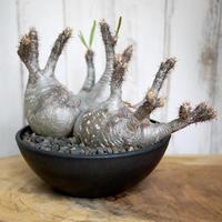 ★★★SPECIAL★★★【発根済/多頭タイプ】Pachypodium rosulatum var. gracilius パキポディウム・ロスラーツム・グラキリウス(グラキリス)
