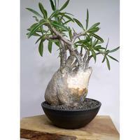 【発根済】Pachypodium rosulatum var. gracilius パキポディウム・ロスラーツム・グラキリウス(グラキリス)バッファローヘッド