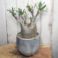Pachypodium rosulatum var. gracilius パキポディウム・ロスラーツム・グラキリウス(グラキリス)G7