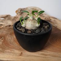 Pachypodium brevicaule パキポディウム・ブレビカウレ  ミニ恵比寿笑い