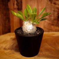 Pachypodium densicaule パキポディウム・デンシカウレ(恵比寿大黒)D2