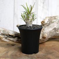 【実生】Pachypodium rosulatum var. gracilius パキポディウム・ロスラーツム・グラキリウス(グラキリス)GR9