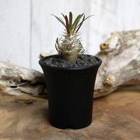 【実生】Pachypodium rosulatum var. cactipes パキポディウム・ロスラーツム・カクチペス CAC4