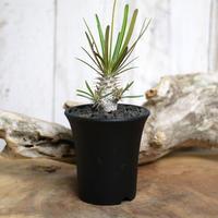 【実生】Pachypodium rosulatum var. gracilius パキポディウム・ロスラーツム・グラキリウス(グラキリス)GR12