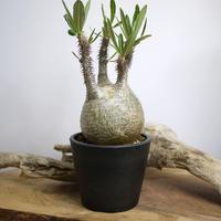 【発根済】Pachypodium rosulatum var. gracilius パキポディウム・ロスラーツム・グラキリウス(グラキリス)N