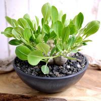 Pachypodium brevicaule パキポディウム・ブレビカウレ  恵比寿笑い