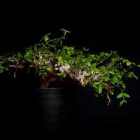 Commiphora sp. somalia eyl  コミフォラ・エイル