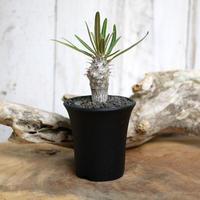 【実生】Pachypodium rosulatum var. gracilius パキポディウム・ロスラーツム・グラキリウス(グラキリス)GR11
