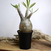 【発根済】Pachypodium rosulatum var. gracilius パキポディウム・ロスラーツム・グラキリウス(グラキリス)L