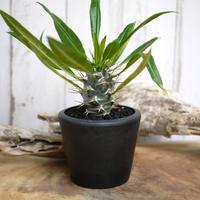 【実生】Pachypodium lamerei var. fiherenense パキポディウム・フィヘレネンセ FIH2