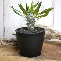 【実生】Pachypodium lamerei var. fiherenense パキポディウム・フィヘレネンセ FIH3