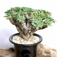 【発根済】Euphorbia guillauminiana ユーフォルビア・ギラウミニアナ